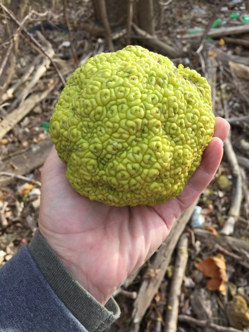 Osage orange, Falls of the Ohio, Nov. 2015