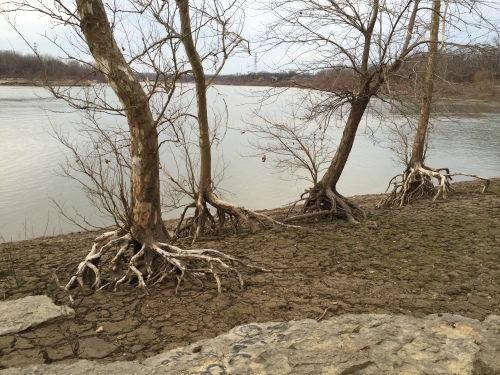 Four trees with exposed roots, Falls of the Ohio, Dec. 2015