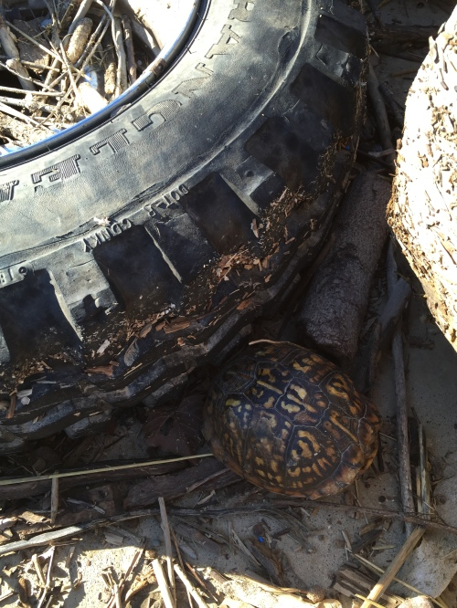 Box turtle by a discarded tire, Falls of the Ohio, Jan. 1, 2015