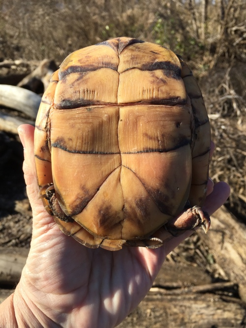 Eastern Box Turtle plastron, Jan. 1, 2016, Falls of the Ohio