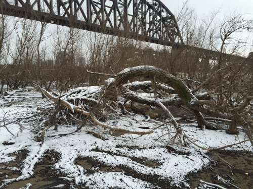 Bent over willow tree, Falls of the Ohio, Jan. 12, 2016