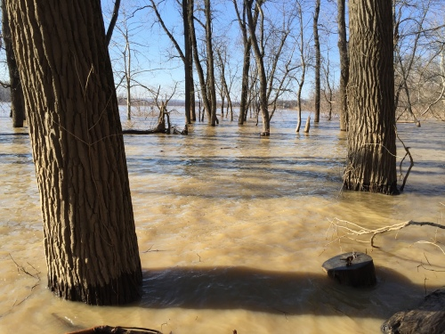 Flooded trees at the Falls of the Ohio, Feb. 7, 2016