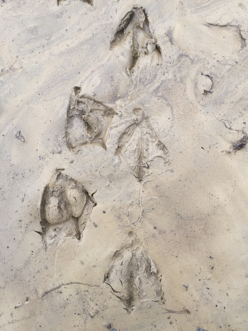 Goose tracks in the mud, Falls of the Ohio, March 20, 2016