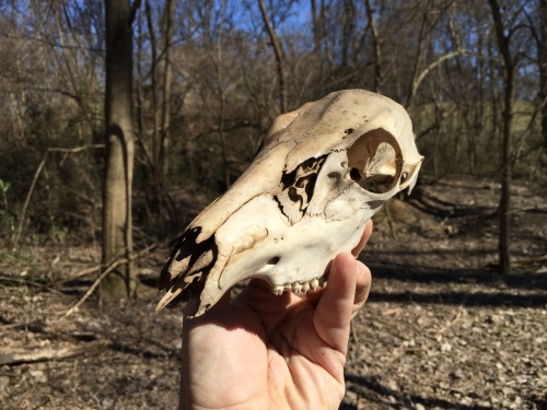 Found whitetail deer skull, Falls of the Ohio, Feb. 29, 2016
