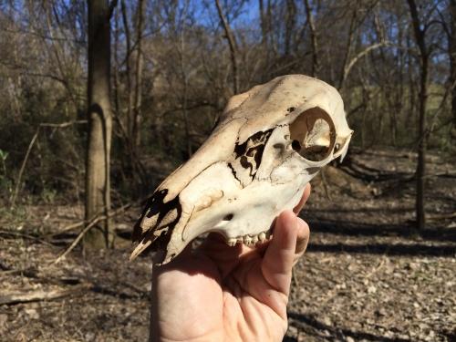 Found whitetail deer skull, Falls of the Ohio, Feb. 29, 2016