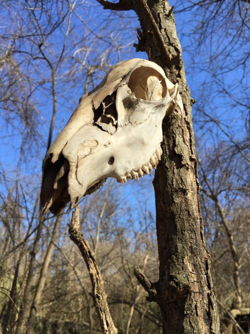Deer skull mounted on a tree, Falls of the Ohio, Feb. 29, 2016