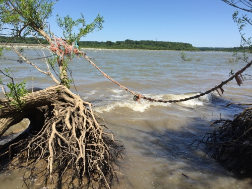 Barge rope snagged between two trees, Falls of the Ohio, June 2016