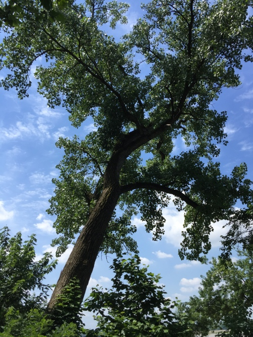 Large, Cottonwood tree, Falls of the Ohio, June 2016