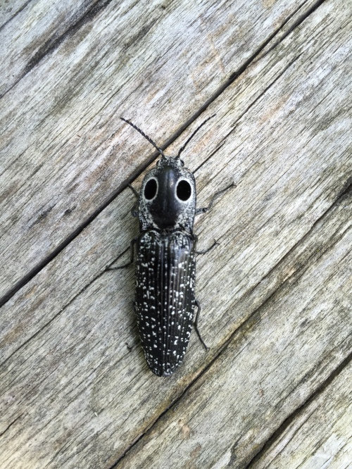 Eastern-Eyed Click Beetle, Alaus oculatus at the Falls of the Ohio, June 2016