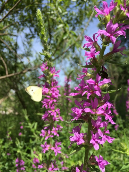 Cabbage White butterfly on Purple loosestrife, Falls of the Ohio, Late June 2016