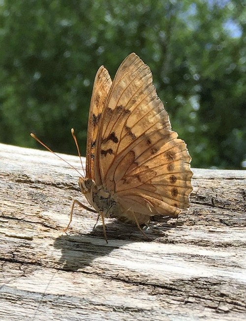 Summer time butterfly at the Falls of the Ohio, June 2016