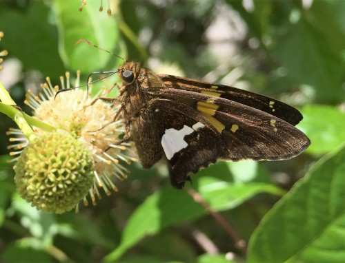 Silver-spotted skipper, Falls of the Ohio, Late June 2016