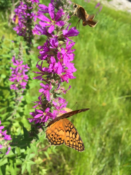 butterflies on purple loosestrife, Falls of the Ohio, Aug. 2016